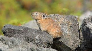 ナキウサギ 1  Japanese Pikas Calling Out : Cute animals in Nature