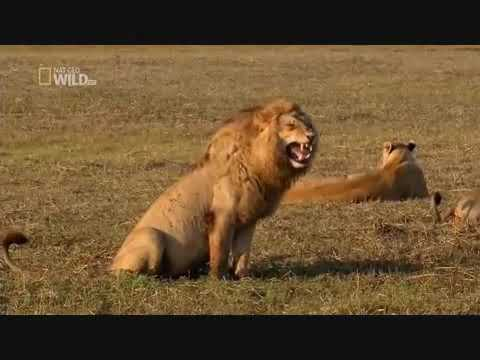 Your Daily Dose of Laugh - The LAUGHING LION