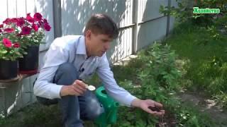 Голубика. Что нужно сделать во время цветения голубики???