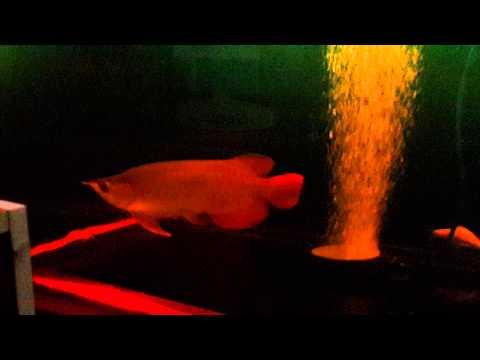 ปลามังกรแดง