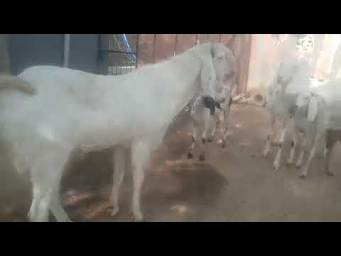 Firdaus Goats Farm parts 4
