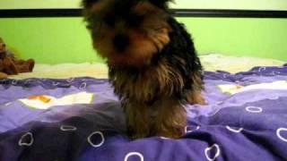 Belle The Yorkshire Terrier Barking
