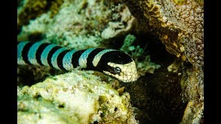 "Science News - In a case of convergent evolution, a species of sea snake has evolved ""gills"""