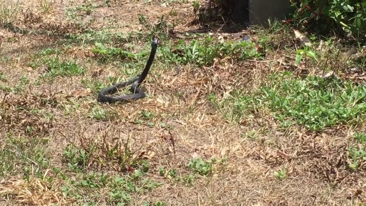 Black Racer Snake Caught A Brown Anole Lizard
