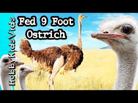 We Fed 9 Foot Tall Biting Ostrich + Attack of Emu Mob Ostrich Farm Road Trip!