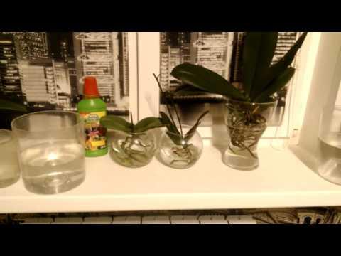 Орхидеи в воде. Как и чем я удобряю свои орхидеи.