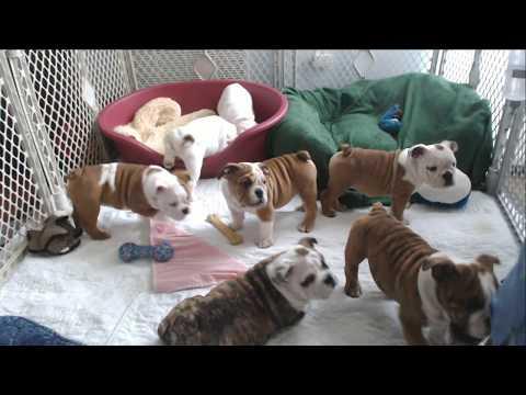 Bulldog Puppy Watch - Day 69