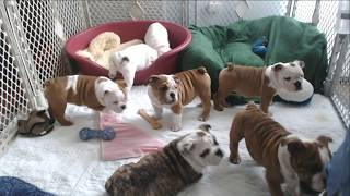 Bulldog Puppy Watch - Day 69