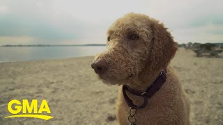 Labradoodle breeder says he created a monster | GMA