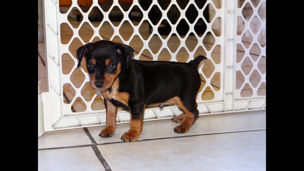 Miniature Pinscher Puppies Dogs For Sale In Raleigh North