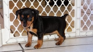 Miniature Pinscher, Puppies, For, Sale, In, San Diego, California, Ca, Escondido, Hayward, Pomona, S