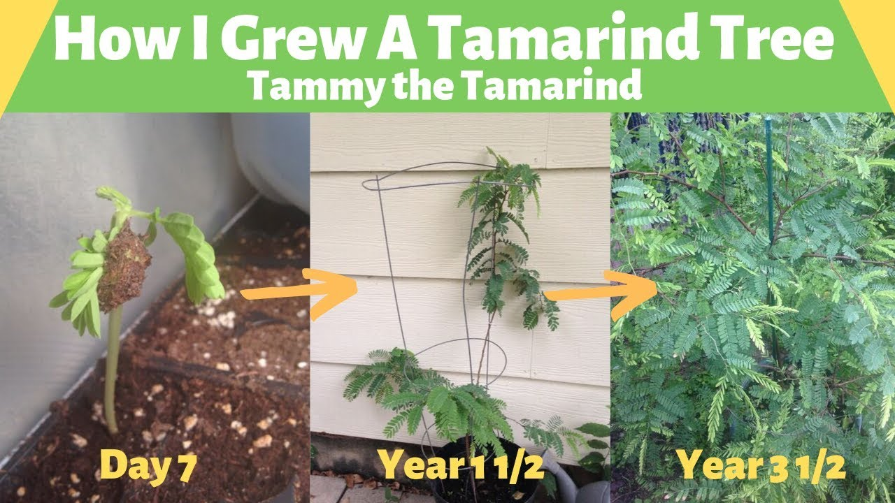 Download How To Grow a Tamarind Tree-Tammy The Tamarind