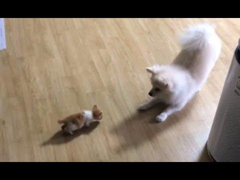 3개월 새끼고양이 Vs 3년 쫄보강아지 ( 쿠키영상 있음 )