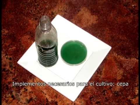 Cultivo casero de Spirulina
