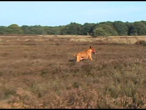 Rhodesian Ridgeback As Lone Hunter.