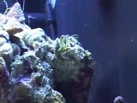 how to get rid of bubble algae in aquarium