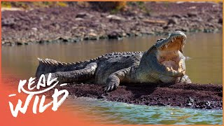 The Predator's Bay [Crocodile Documentary] | Wild Things