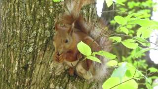 Funniest Squirrel Белка и Стрелка - звездные белки. Прикольные белки. Funny squirrels