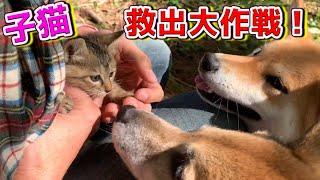 柴犬と散歩中に子猫を保護!新しい家族⁈ Protected kitten