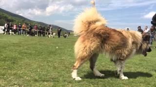Изложба на каракачанско куче в с. Железница 2016