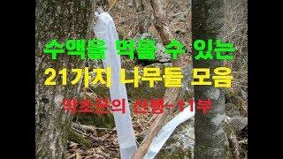 약초꾼의 산행일기 제11부-수액을 먹을 수 있는 나무들…
