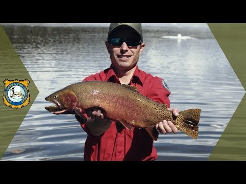 Yellowstone Cutthroat Trout Infusion | Work in the Wild - Ep. 14