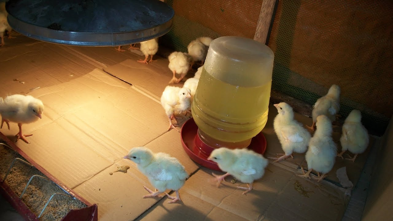 Raising Broiler Chickens