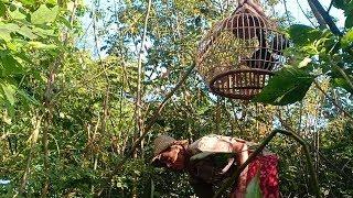 Cara pak tua mikat ayam hutan hijau