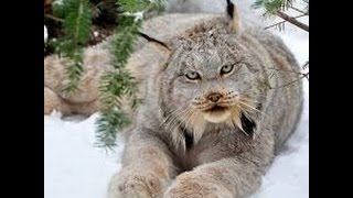 Lynx as a Totem: Your Personal Power Animal