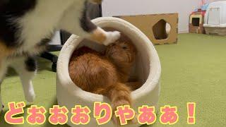 脅かし方が下手くそすぎてかわいい猫