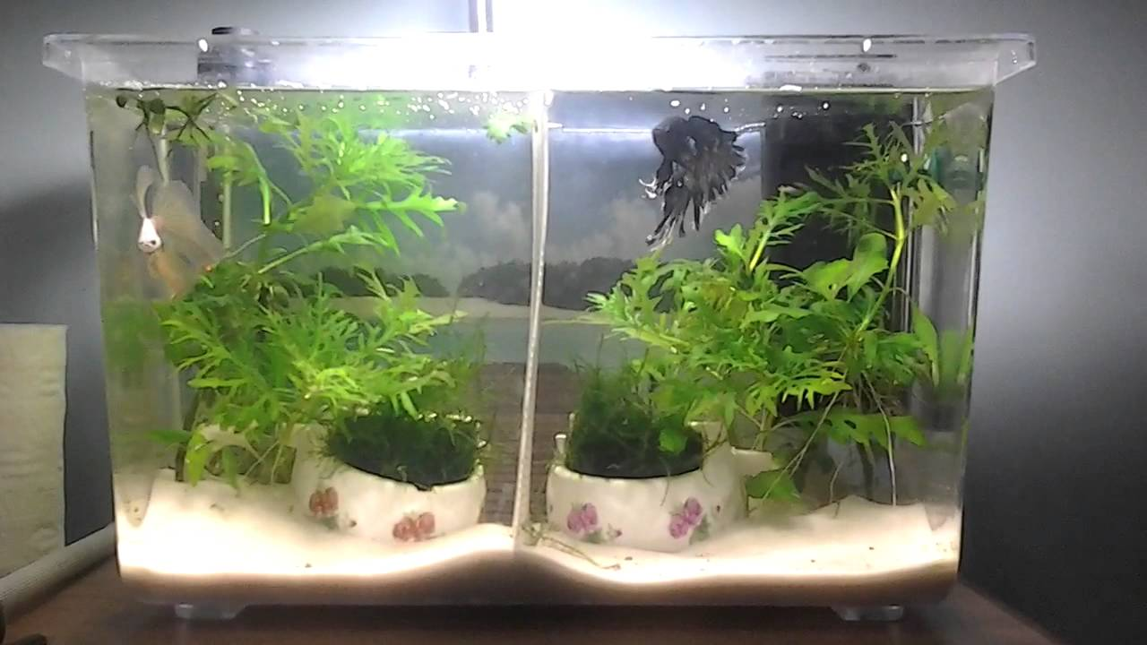 Divided 5 gallon critter tote betta youtube for Divided fish tank