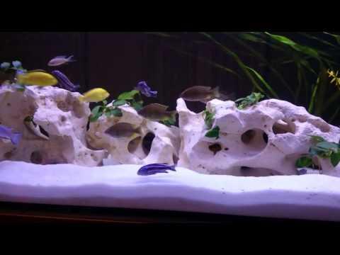 Pyszczaki Malawi Cichlids 500L Fish Tank
