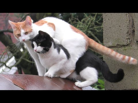 Synchronized Cat Jump Ends In Awkward Landing | 4K
