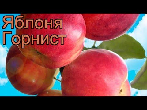 Яблоня обыкновенная Горнист (malus) 🌿 яблоня Горнист обзор: как сажать саженцы яблони Горнист