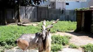 животные, козёл винторогий, харьков, зоопарк