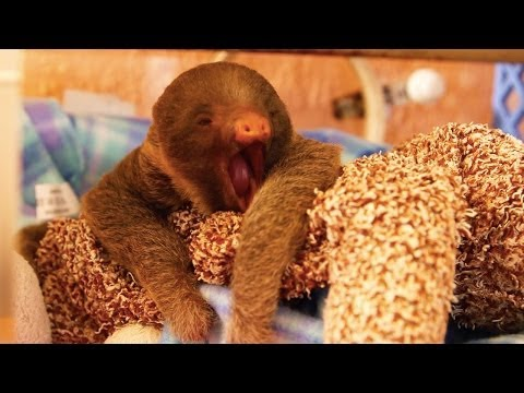 Tiny Baby Sloth Can't Stop Yawning!!! - YouTube