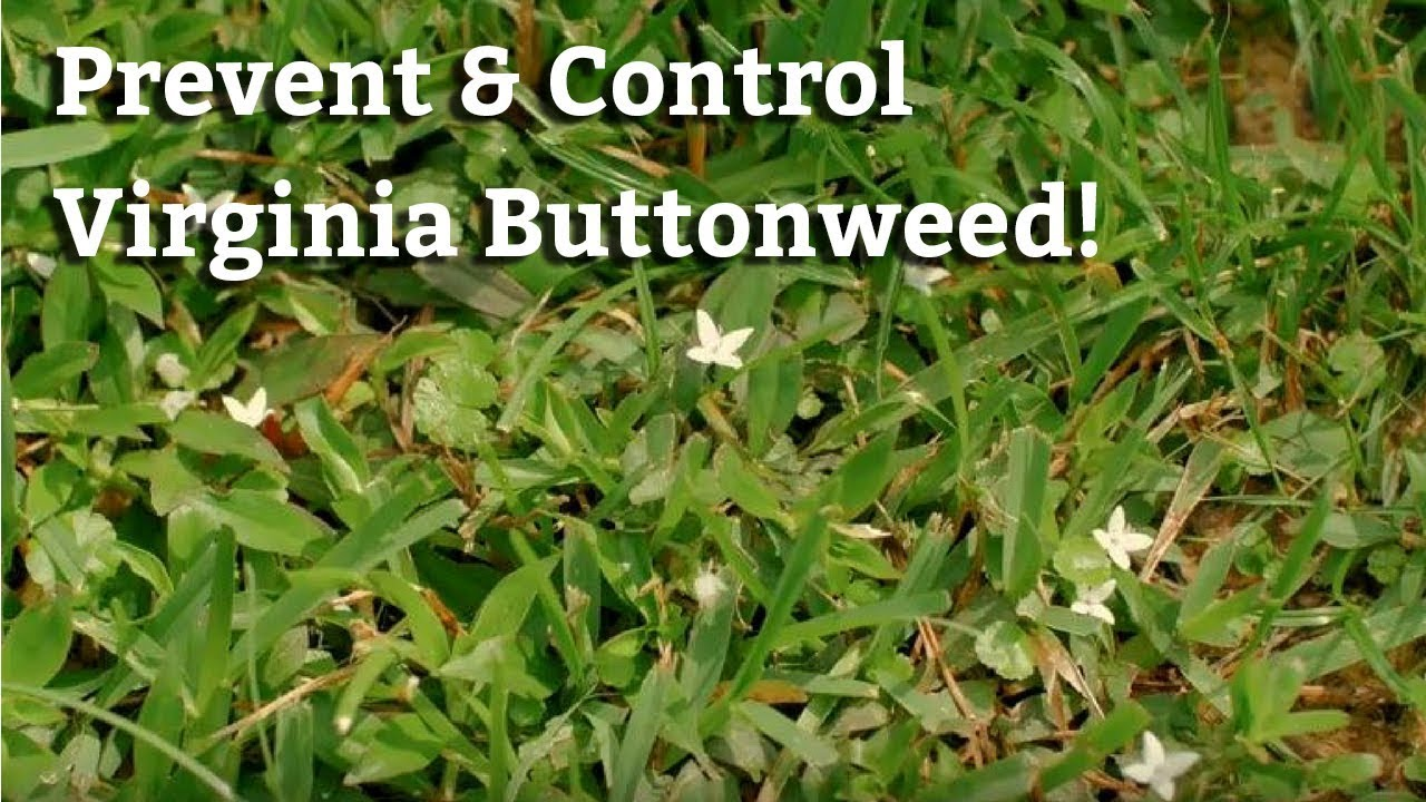 Controlling Virginia Buttonweed Lawn Care Tips Amp Weed