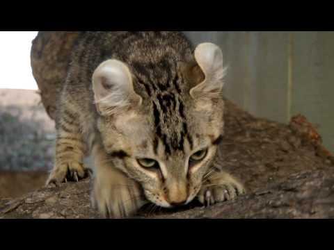 Lynx Hybrid - Exotic Twin Kittens