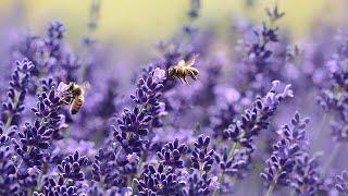 Lavender Geocache Thumbnail