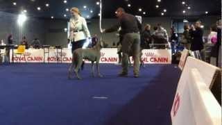 Expo Int Arezzo 2013 Weimaraner Best Male Marlon Big Wave Rider Diego