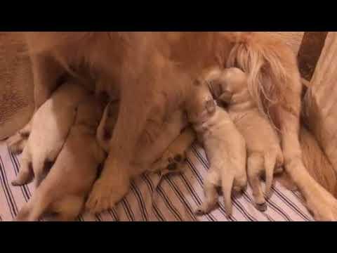 LT's Goldendoodle puppies Abbey Acres