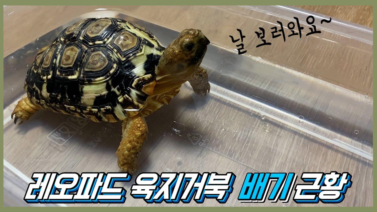 레오파드 육지거북 (배기) 컴백!!(레오파드 육지거북 사육장 옮겨주기)
