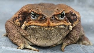 How to train a dog to find a cane toad!