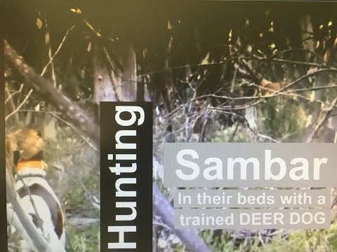 Hunting Sambar Stags With A Deer Dog!