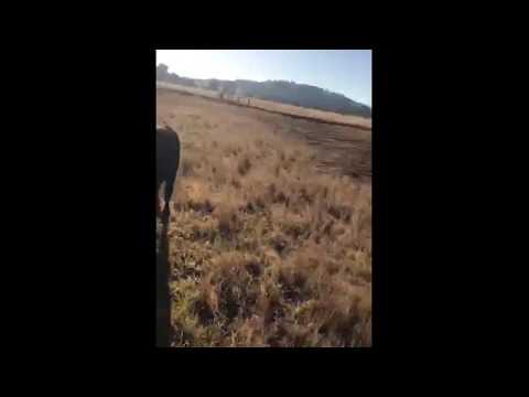 Black Angus Cattle Feeding On Fodder