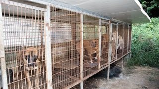 More Than 100 Dogs Destined For Dinner Table Saved From Meat Farm Hell