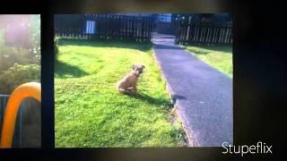 Border Terrier Slide Show(: