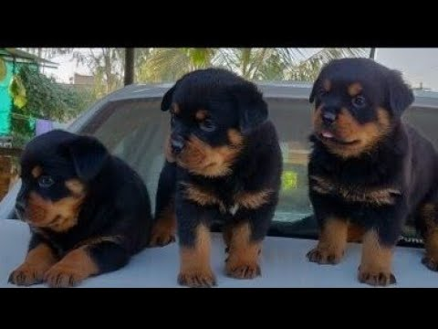 may-2019:-rottweiler-puppies-ready-for-sale-in-india.-delivery-available-from-boskys-kennel.