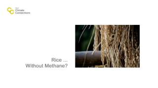 Rice ... Without Methane?