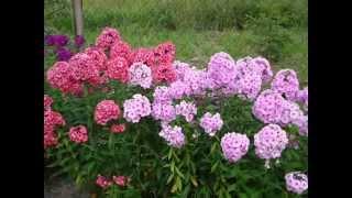 Разноцветные красавицы флоксы. Фото этих прекрасных цветов